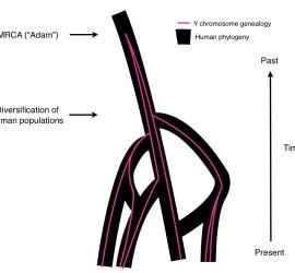 human-phylogeny2-jkp
